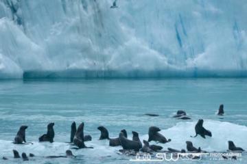 Otaries à fourure près du front du glacier Jenkins