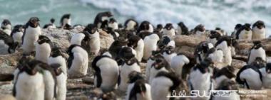 Colonie de gorfous sauteurs surblombant la mer