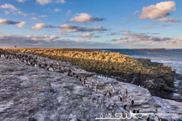 Colonie de gorfous sauteurs surblombant les falaises