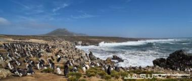 Colonie de gorfous sauteurs surplombant la mer