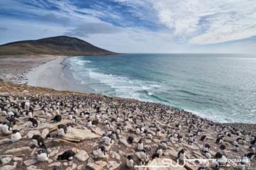 Colonie de gourfous sauteurs surblombant la plage