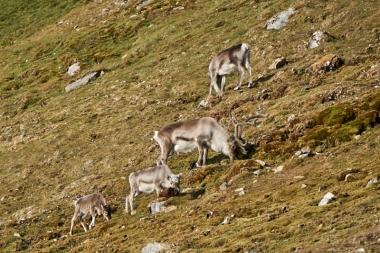 Groupe de rennes du Svalbard