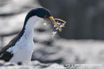 Confection du nid par un cormoran
