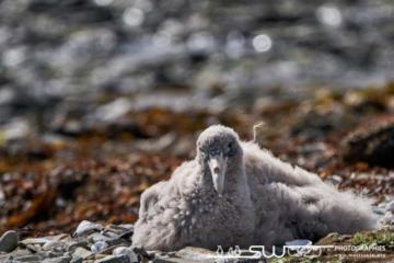 Jeune pétrel géant dans son nid