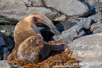 Lion de mer - Îles Malouines