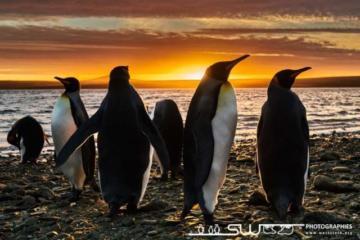 Manchot royaux au coucher du soleil