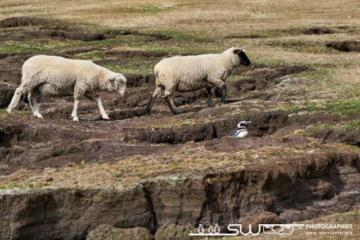 Contraste entre moutons et manchot de Magellan