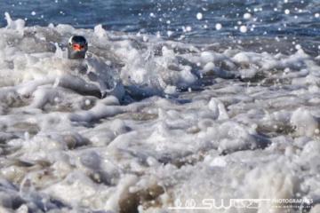 Le manchot papou est excellent nageur