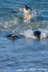 Manchots papous  après une session de pêche