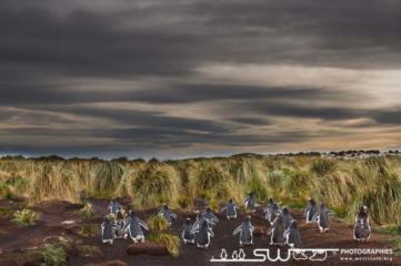 Manchots papous sur le chemin de la colonie