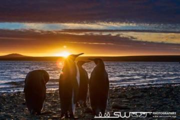 Manchots royaux au coucher du soleil