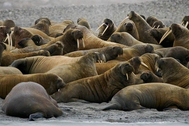 Colonie de morses sur la plage
