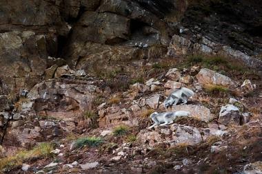 Deux renards polaires à l'affut