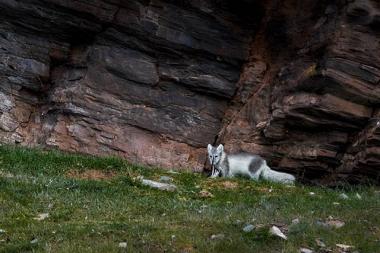 Renard polaire ayant capturé un jeune guillemot