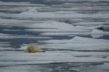 Un ours fait des cabrioles sur une plaque de basnquise !