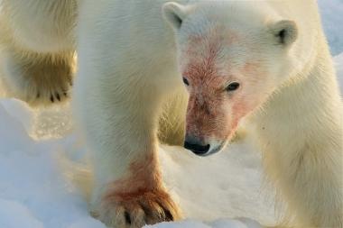 Un ours sur la banquise