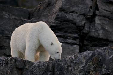 Un ours dans les rochers