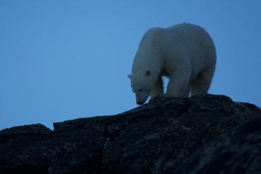 Un ours au sommet d'une falaise