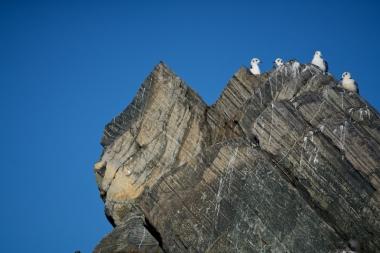 Des mouettes tridactyle sur un rocher