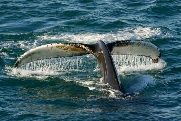 Nagoire caudale d'une baleine à bosse