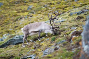 Un renne broutant dans la toundra